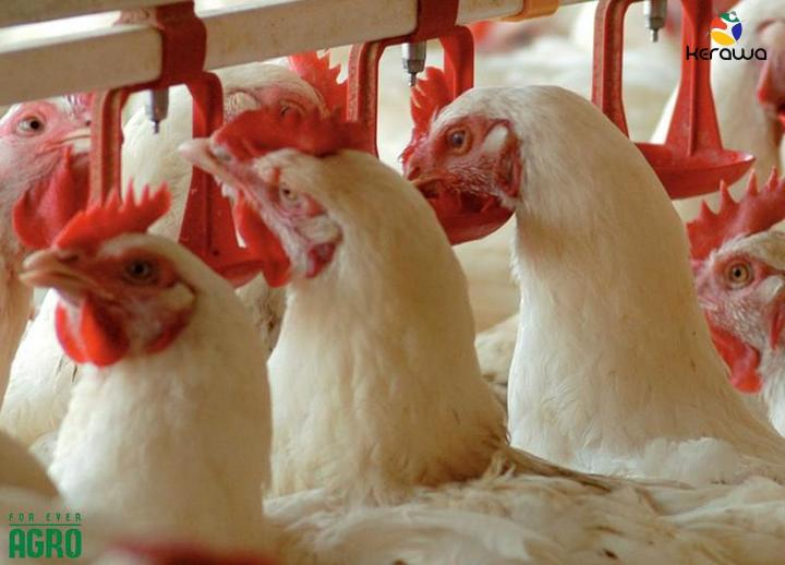 L'Anses prépare le futur de l'élevage avicole