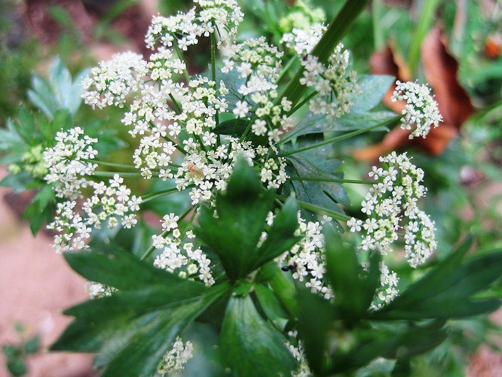 Plantes pour vaporisateur